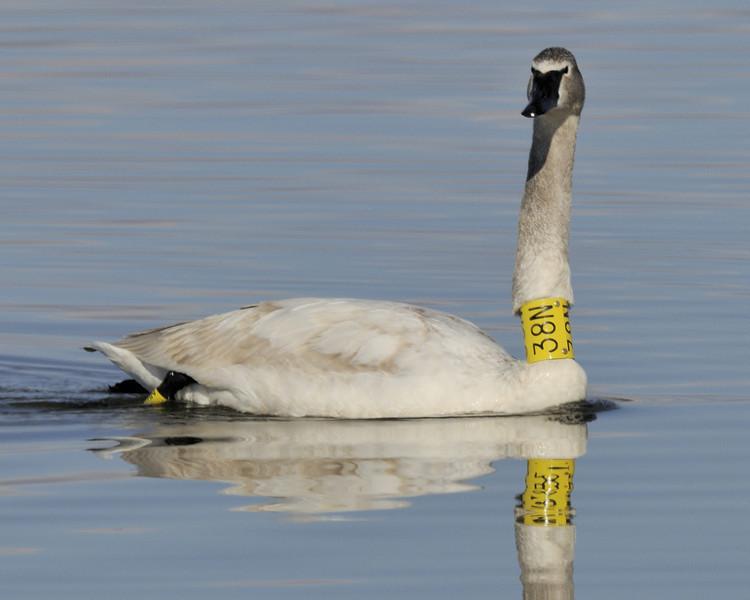 Trumpter Swan (2)