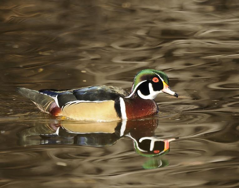 Wood Duck (10)
