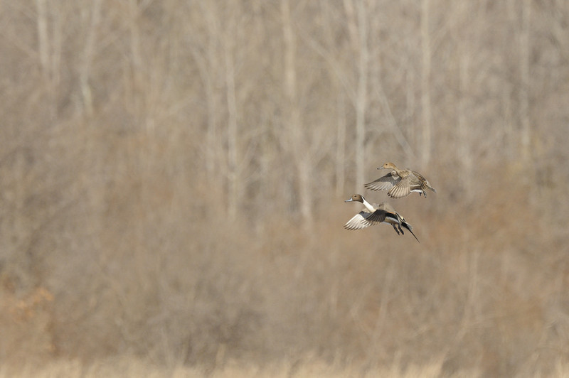 Northern Pintail (5)