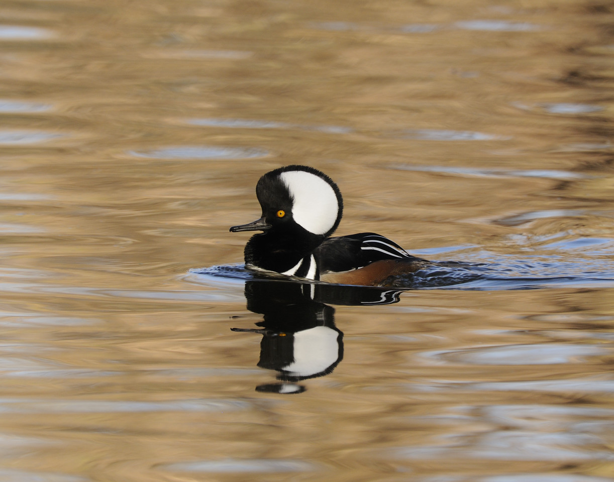 Hooded Merganser (11)
