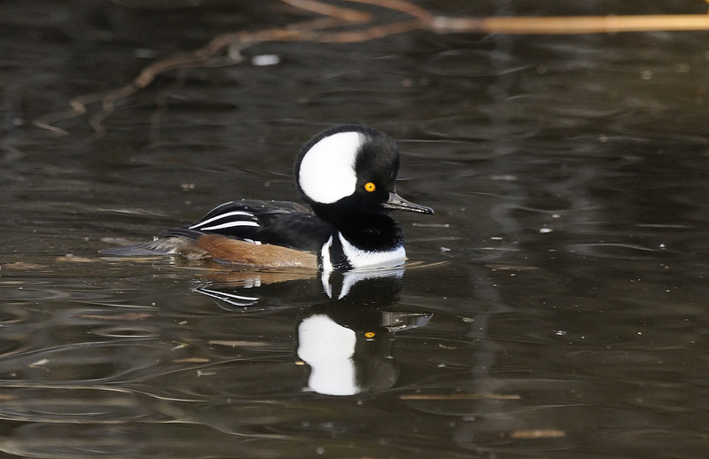 Hooded Merganser (7)