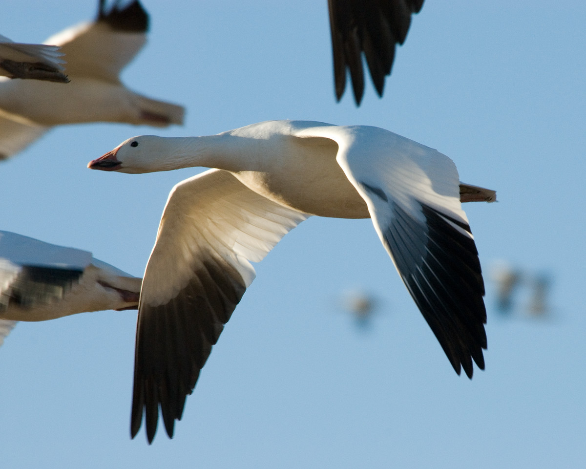 Snow Geese (5)