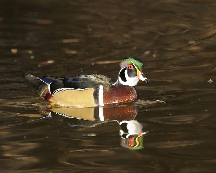 Wood Duck (5)