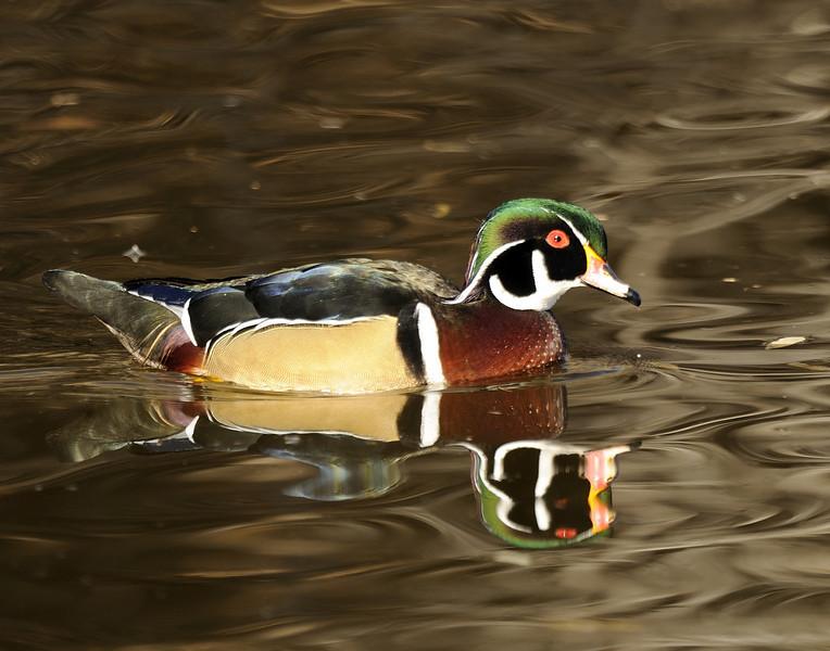 Wood Duck (7)