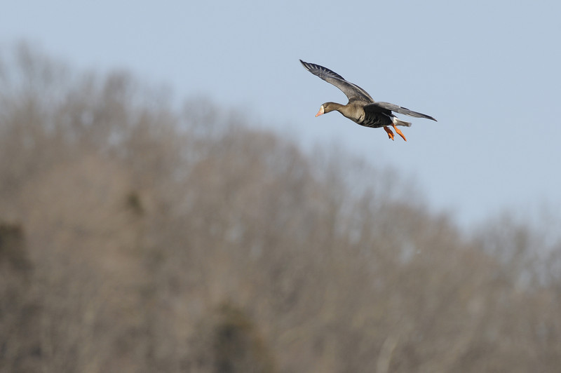 Greater White Fronted Geese (4)