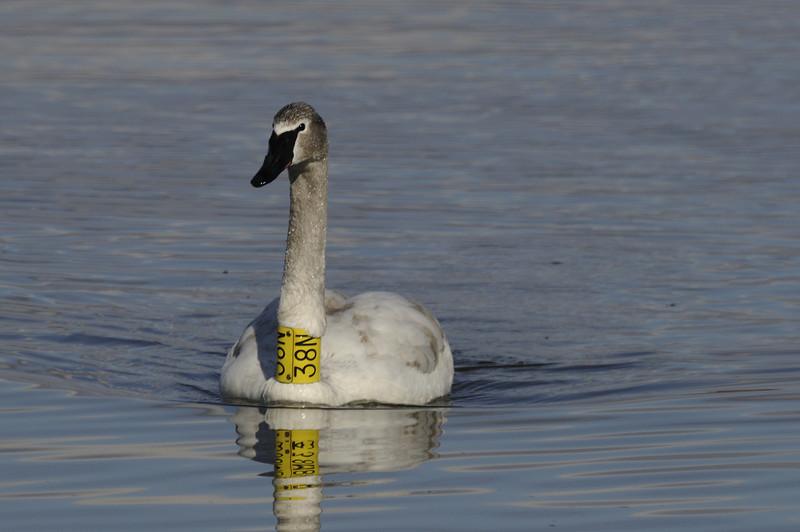 Trumpter Swan (1)