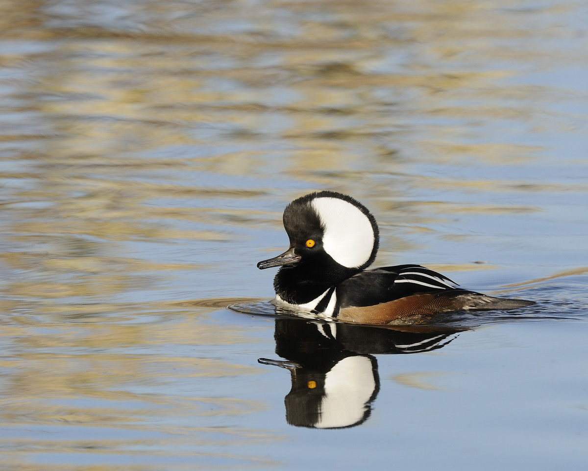Hooded Merganser (10)