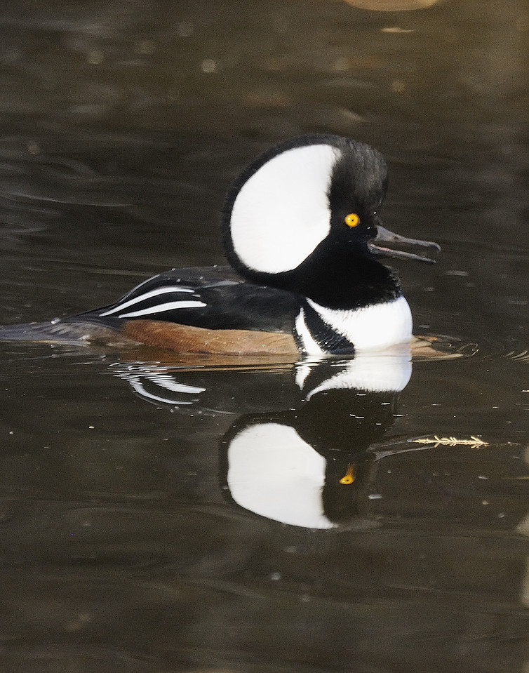 Hooded Merganser (8)
