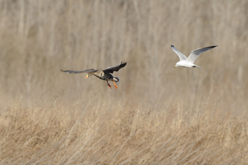 Greater White-Fronted Goose (1)