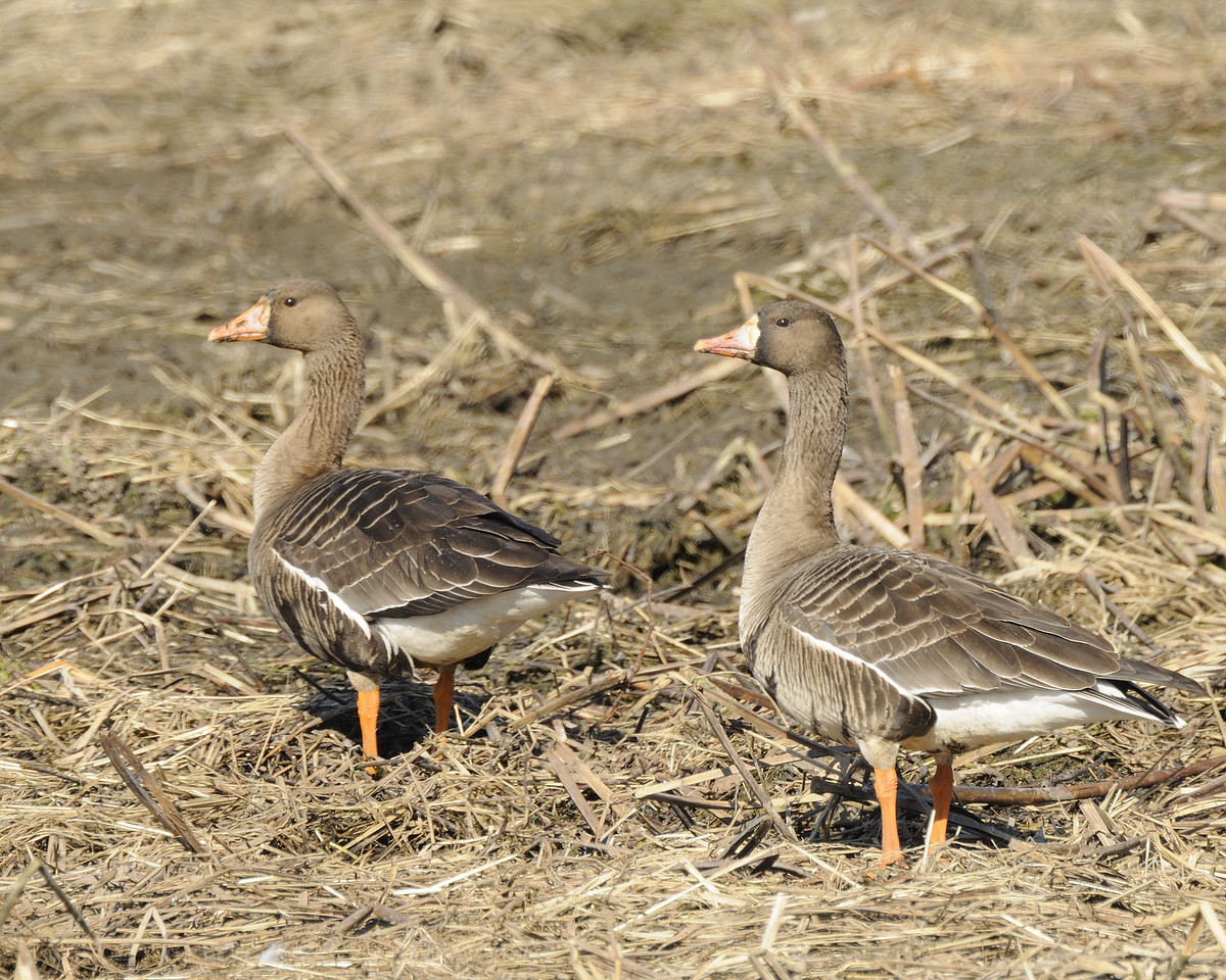 Greater White Fronted Geese (2)