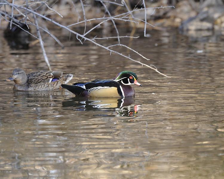 Wood Duck (2)