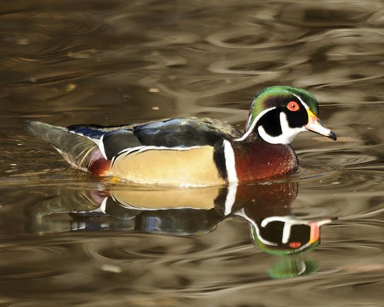 Wood Duck (11)