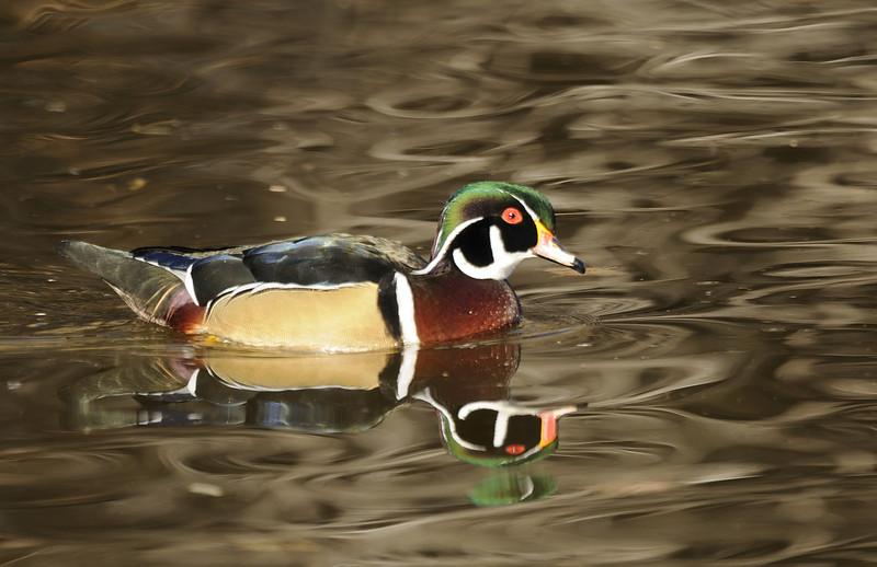 Wood Duck (9)