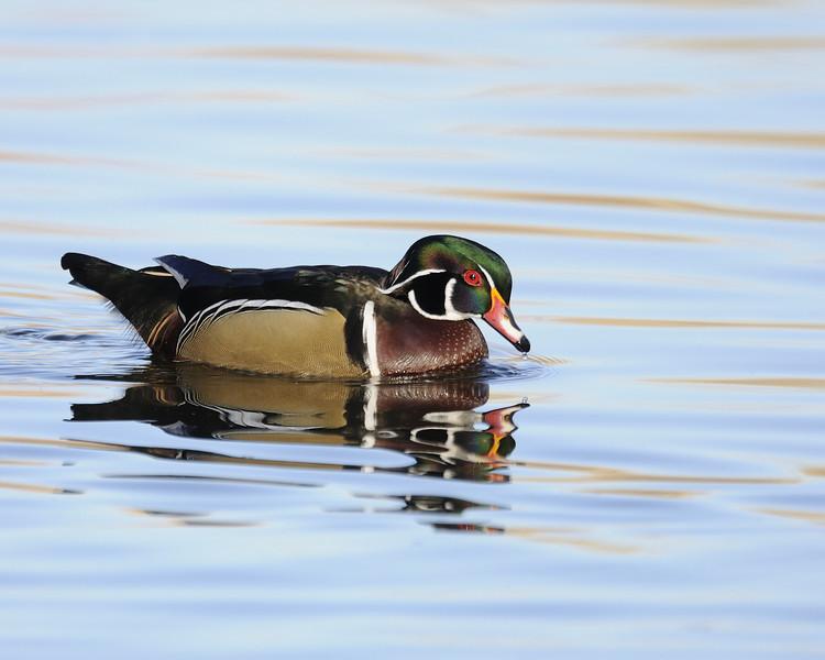 Wood Duck (17)