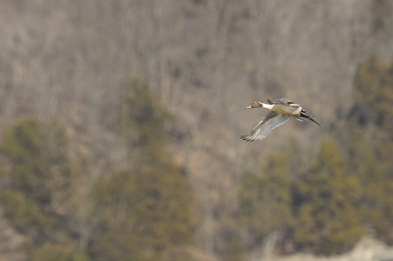 Northern Pintail (6)