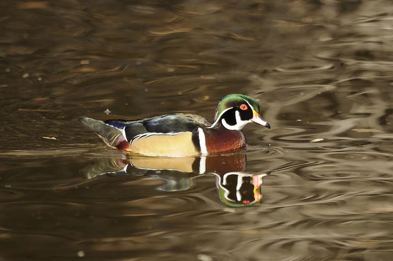 Wood Duck (8)