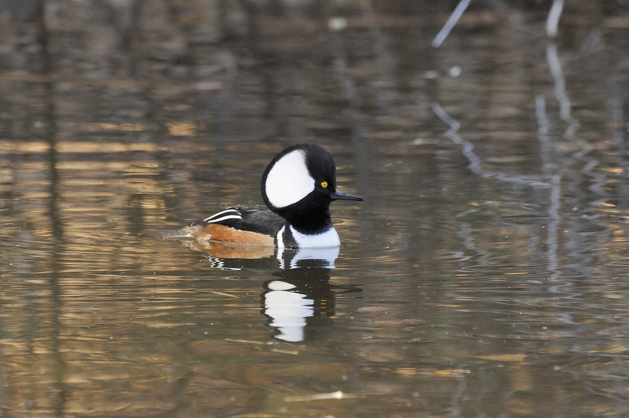 Hooded Merganser (6)
