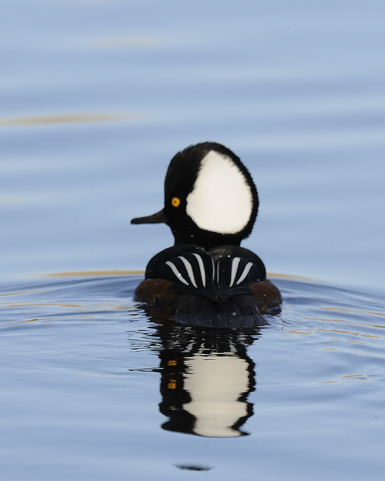 Hooded Merganser (12)