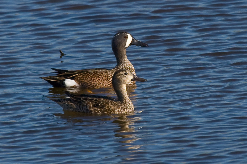 Blue Winged Teal 122808_1216