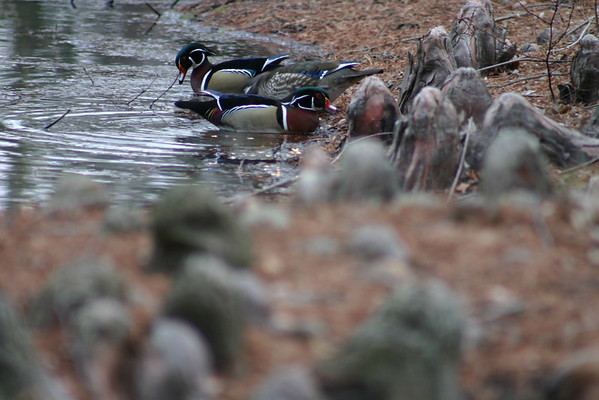 Ducks - Wood Ducks and Ring Neck