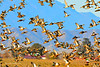 Ducks and Geese-10 _pp