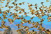 Ducks and Geese-11 _pp
