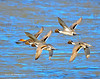Ducks and Geese-58 _pp
