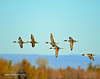 Ducks and Geese-57 _pp