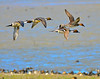 Ducks and Geese-43 _pp