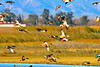 Ducks and Geese-15 _pp