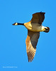 Ducks and Geese-51 _pp