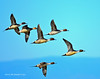 Ducks and Geese-54 _pp