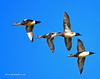 Ducks and Geese-44 _pp