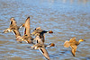 Ducks and Geese-20 _pp
