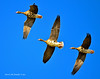 Ducks and Geese-46 _pp