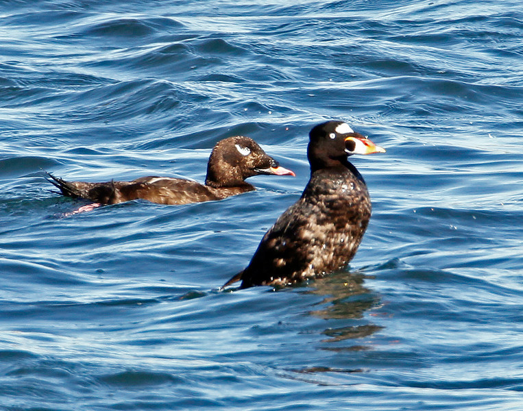 Surf Scoter and White-winged Surf Scoter