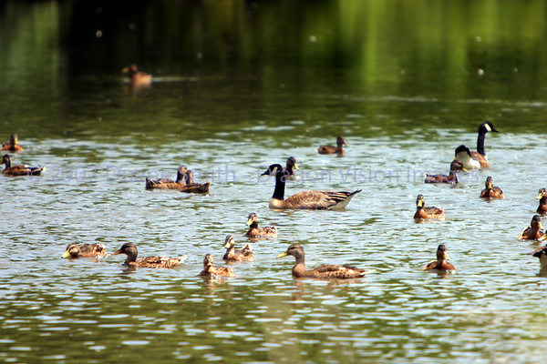 Ducks by the river 20070720