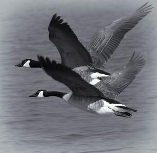 Canada Goose  02 24 10  062 - Edit CS4 - Edit CS4 - Edit