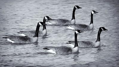 Canada Goose  02 24 10  045 - Edit