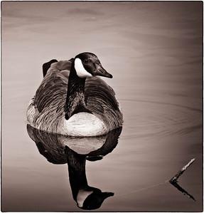 Canada Goose  03 05 09  055 - Edit-4 - Edit