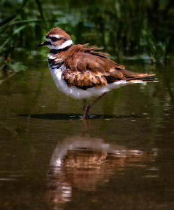 Killdeer  08 03 10  028 - Edit - Edit