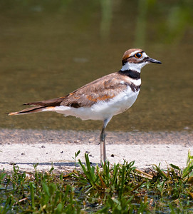 Killdeer  08 03 10  032