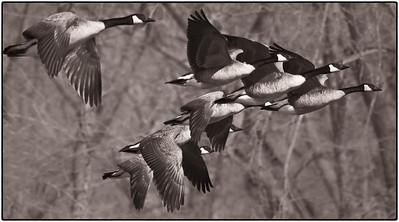 Canada Goose  02 25 10  187 - Edit CS4 - Edit
