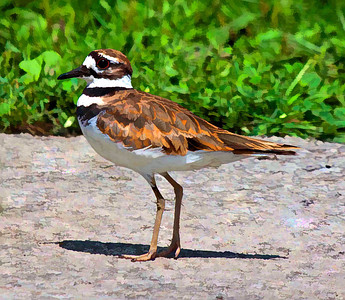 Killdeer  08 03 10  038 - Edit - Edit