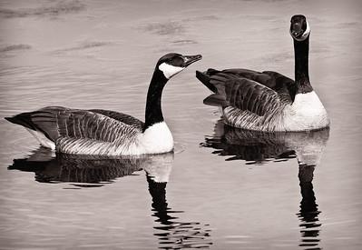Canada Goose  03 05 09  103 - Edit-3