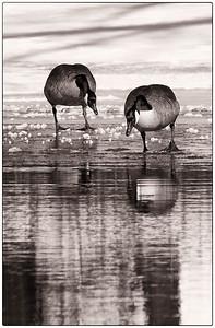 Canada Goose  02 25 10  021 - Edit-2