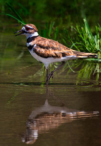 Killdeer  08 03 10  027 - Edit - Edit-4