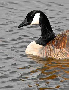 Canada Goose  03 05 09  088 - Edit