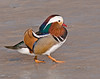 A Mandarin Duck walks gingerly across the ice