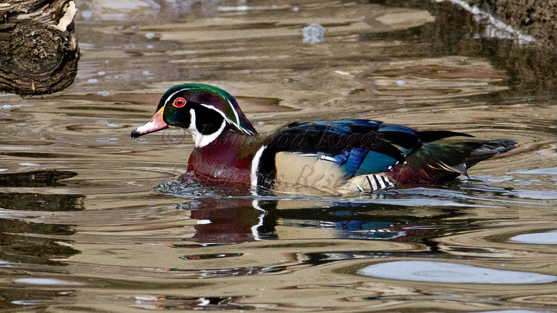 Wood Duck on the Kennebec River in Gardiner,Maine